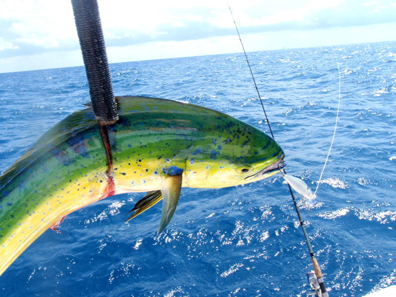 Florida keys boating magazine burdine s waterfront for Dolphin fishing florida