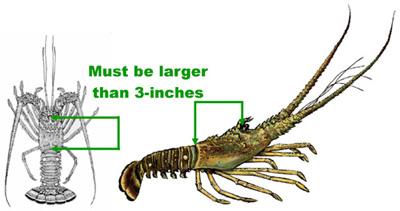 Melt the butter; spiny lobster seasons start soon